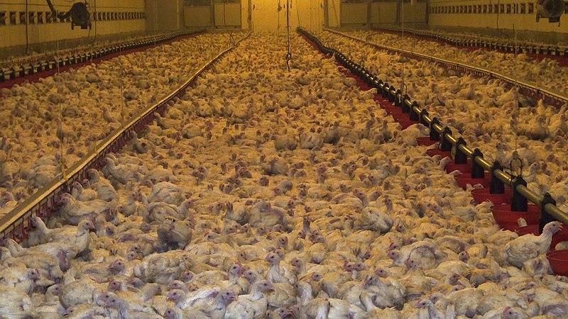 Poulets d'élevage intensif