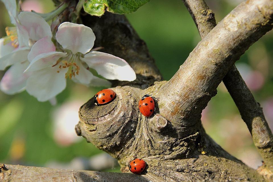 coccinelles arbre