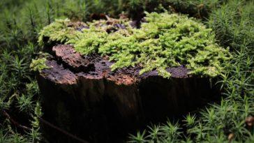 radulanine glyphosate mousse arbre