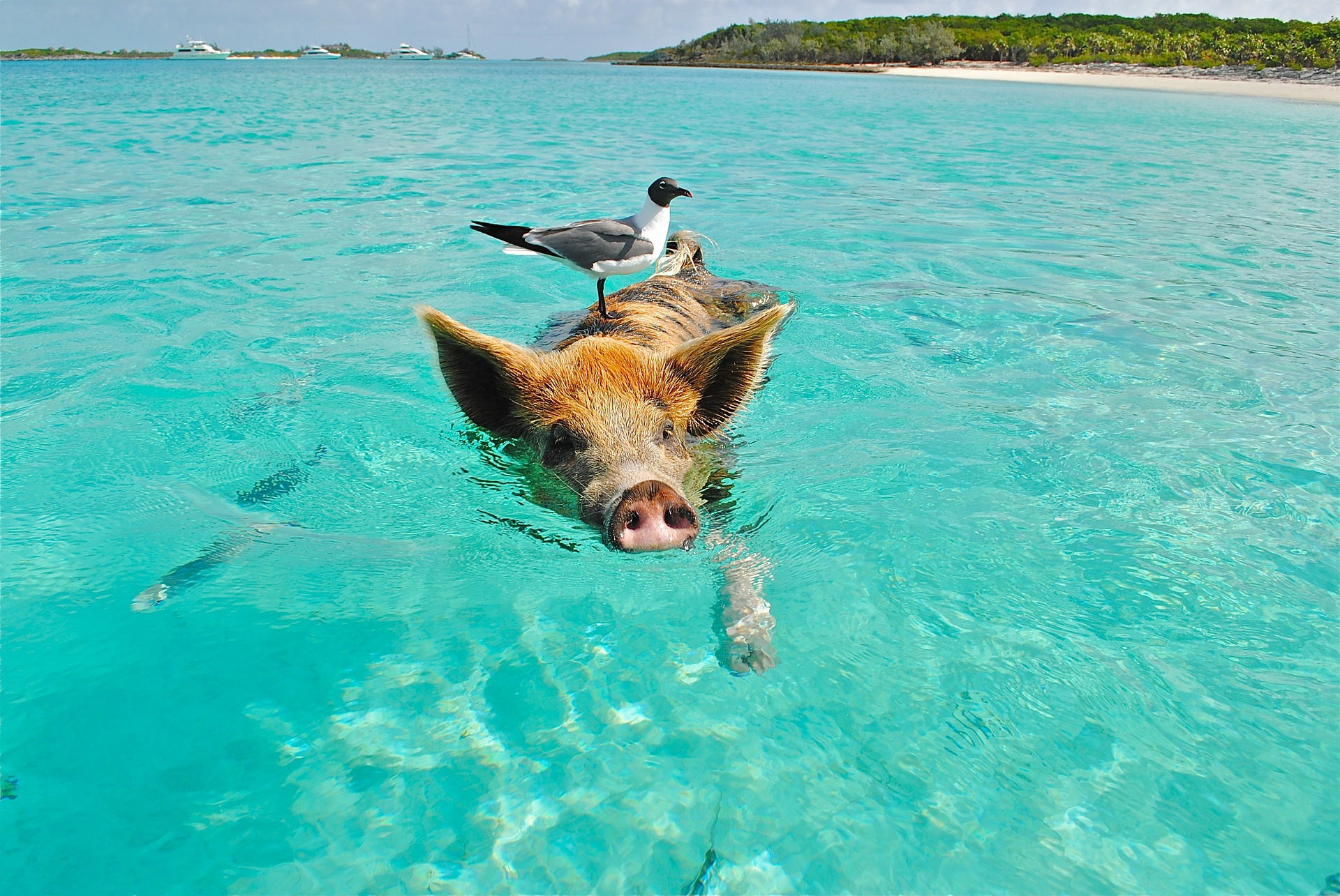 Cochons au Bahamas