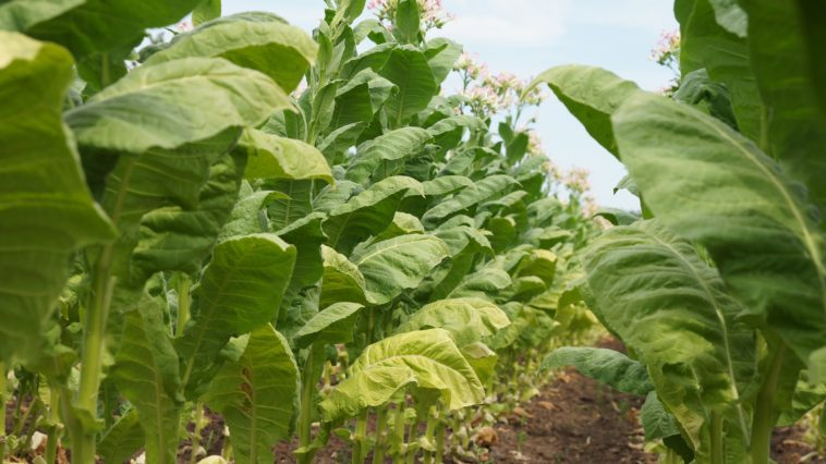 tabac plante